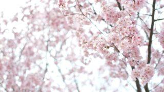 【2017年開花状況】仙台の錦町公園でお花見をしてきた