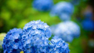 初夏の仙台に来たなら資福寺の紫陽花を撮ってほしいという話